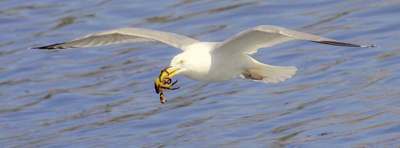 Herring Gull Flying With Crab nature, wildlife, photograph, photography, image, behavior, bird, birding, Maine