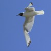 Laughing Gull Hawking ants nature, wildlife, photograph, photography, image, behavior, bird, birding, Maine