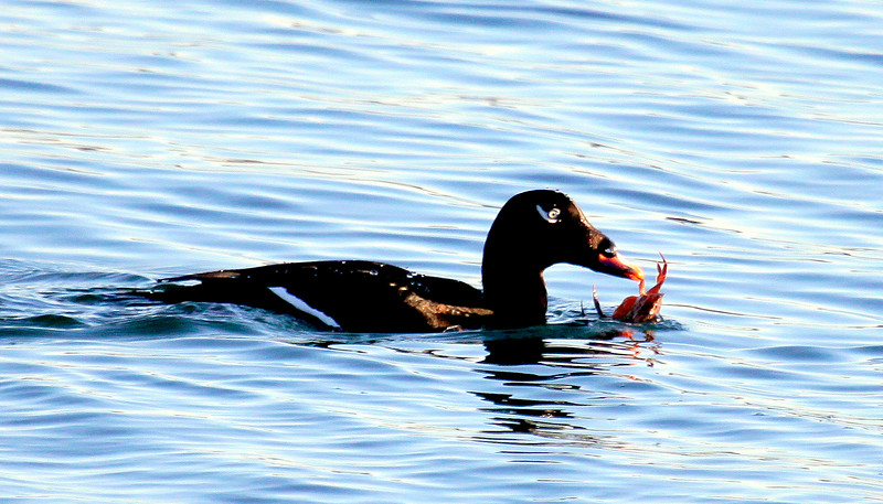 White Winged Scoter eating a crab, January, 2010, Phippsburg Maine, Totman Cove nature, wildlife, photograph, photography, image, behavior, bird, birding, Maine