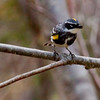Yellow-rumped warbler with fly, perched, male, Phippsburg, Maine nature, wildlife, photograph, photography, image, behavior, bird, birding, Maine