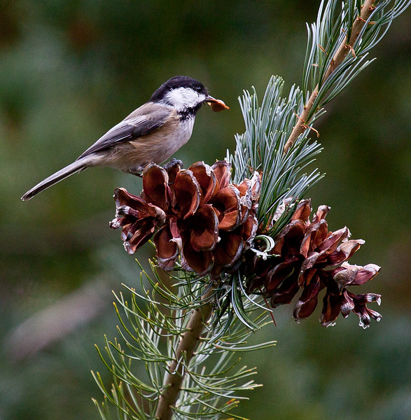 Black Capped Chickadee eating seed from a pine cone of a White Pine tree, Maine. This is the Maine State bird on the Maine State Flower of the Maine State tree. nature, wildlife, photograph, photography, image, behavior, bird, birding, Maine