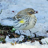 Myrtle Yellow-rumped warbler with seed, Phippsburg Maine nature, wildlife, photograph, photography, image, behavior, bird, birding, Maine