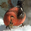 White-winged crossbill, male eating snow, Phippsburg Maine nature, wildlife, photograph, photography, image, behavior, bird, birding, Maine