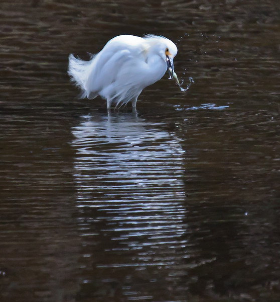 Snowy egret with fish. Egrets shake their heads right when they pull fish out of the water. Phippsburg, Maine summer, wading bird nature, wildlife, photograph, photography, image, behavior, bird, birding, Maine