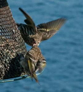 Pine Siskins Phippsburg Maine nature, wildlife, photograph, photography, image, behavior, bird, birding, Maine
