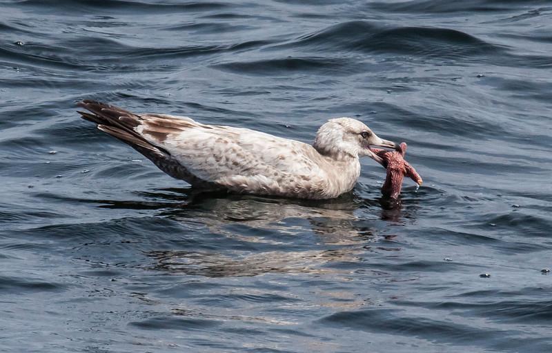 An immature Herring gull eating a starfish, Phippsburg Maine