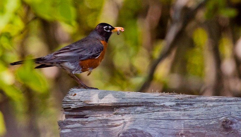 American robin with food, male nature, wildlife, photograph, photography, image, behavior, bird, birding, Maine