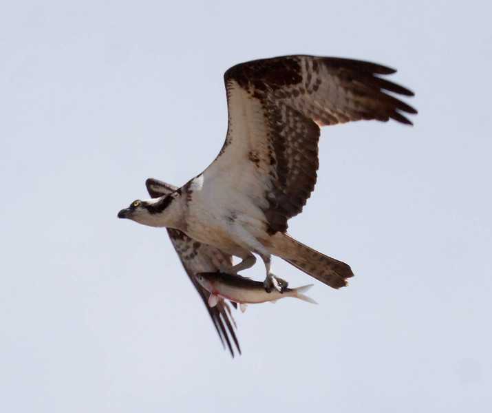 Osprey in flight with fresh fish, probably and Alewife, a type of river herring that spawns in Maine in spring, Phippsburg, Maine. Bird has nice eye light and fish has nice blood. Yuk! nature, wildlife, photograph, photography, image, behavior, bird, birding, Maine