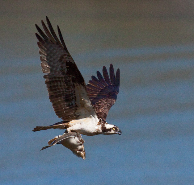 Osprey nature, wildlife, photograph, photography, image, behavior, bird, birding, Maine