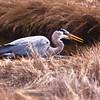 Great Blue Heron with fish breeding plummage, Phippsburg Maine nature, wildlife, photograph, photography, image, behavior, bird, birding, Maine