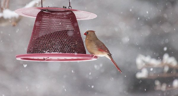 Northern Cardinals are now common birds on the Maine coast, though not inland as much. Over the past few decades, they have made their way north and now reside here full time. I have a  mated pair living at my house in Phippsburg Maine. They have been here for years and hatch a brood each summer. Northern Cardinal, female at feeder during snow storm, Phippsburg, Maine winter