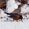 American robins eating crab apples in snow, Maine winter nature, wildlife, photograph, photography, image, behavior, bird, birding, Maine
