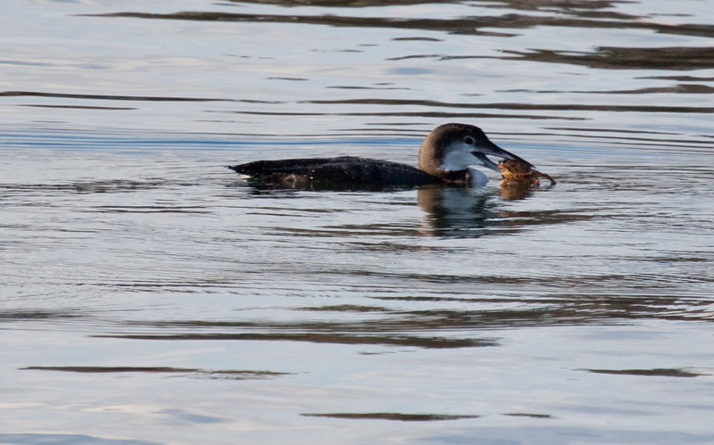 Common Loon With Crab nature, wildlife, photograph, photography, image, behavior, bird, birding, Maine