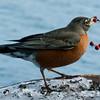 North American robin, male eating Winterberry, Ilex verticilata, Phippsburg Maine in winter nature, wildlife, photograph, photography, image, behavior, bird, birding, Maine