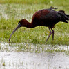 Glossy ibis pulling worm from the ground in flood water, Phippsburg, Sebasco Maine, June nature, wildlife, photograph, photography, image, behavior, bird, birding, Maine