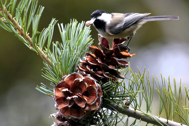 Black-capped Chickadee with pine seed, Maine, White Pine cone, Maine State Flower nature, wildlife, photograph, photography, image, behavior, bird, birding, Maine