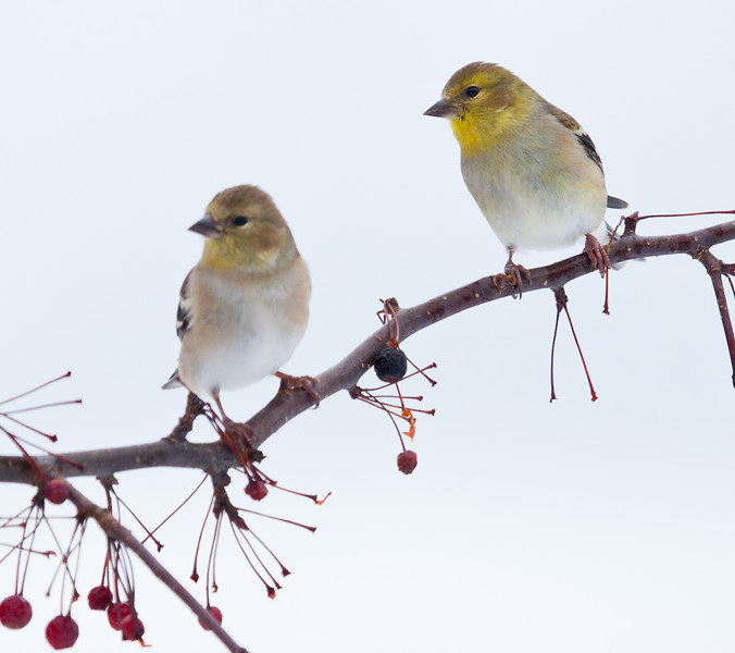 American goldfinches, males in winter plumage perched on crab apple branch, winter, Phippsburg, Maine nature, wildlife, photograph, photography, image, behavior, bird, birding, Maine