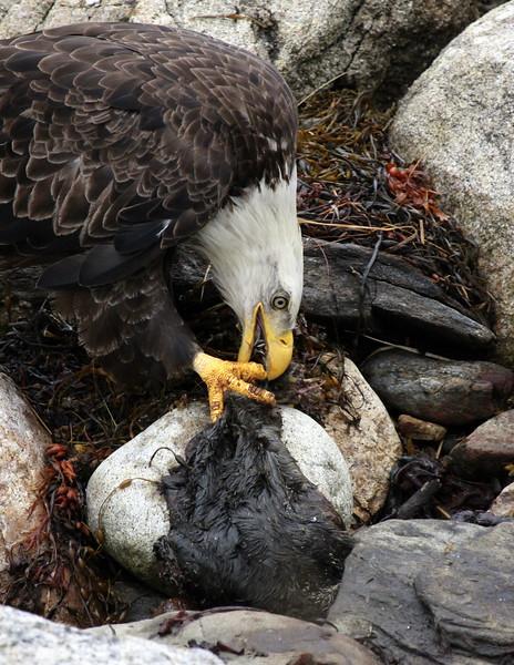 Bald Eagle Tearing Seal Carcass Bald Eagle nature, wildlife, photograph, photography, image, behavior, bird, birding, Maine