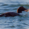 Common Atlantic Eider Eating Crab nature, wildlife, photograph, photography, image, behavior, bird, birding, Maine