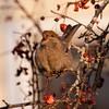 Pine grosbeak female eating crab apple, Thomaston, Maine in winter. Maine saw record breaking irruptions of this boreal bird in the winter of 2012 nature, wildlife, photograph, photography, image, behavior, bird, birding, Maine