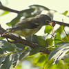 Red-eyed Vireo With Mountain Ash Berry nature, wildlife, photograph, photography, image, behavior, bird, birding, Maine