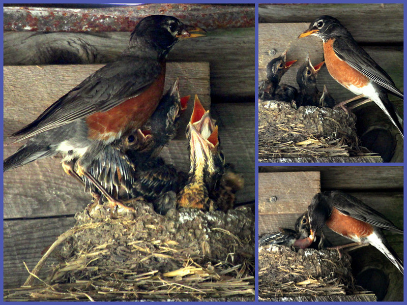 North American robin feeding chicks in the nest, Phippsburg Maine, collage nature, wildlife, photograph, photography, image, behavior, bird, birding, Maine