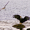 Bald Eagles with Striped Bass being harrassed by Osprey, Phippsburg, Maine nature, wildlife, photograph, photography, image, behavior, bird, birding, Maine