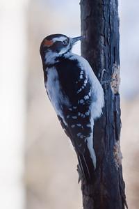 Hairy woodpecker, male eating suet, Phippsburg Maine nature, wildlife, photograph, photography, image, behavior, bird, birding, Maine