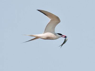 Common tern in flight with fish, Phippsburg Maine nature, wildlife, photograph, photography, image, behavior, bird, birding, Maine
