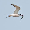 Common tern in flight with fish, Phippsburg Maine nature, wildlife, photograph, photography, image, behavior, bird, birding, Maine