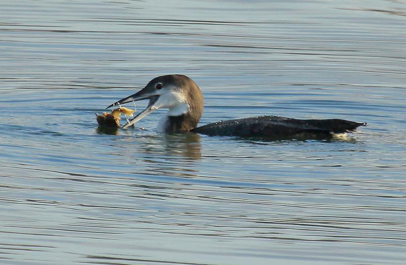Common Loon, Non Breeding Plumage Eating Crab nature, wildlife, photograph, photography, image, behavior, bird, birding, Maine