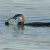 Common Loon, Non Breeding Plumage Eating Crab nature, wildlife, photograph, photography, image, behavior, bird, birding, Maine