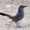 Catbird with food Phippsburg Maine nature, wildlife, photograph, photography, image, behavior, bird, birding, Maine