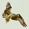Osprey with flounder, fish, Maine, flight nature, wildlife, photograph, photography, image, behavior, bird, birding, Maine