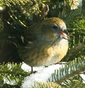 White-winged crossbill, female eating snow nature, wildlife, photograph, photography, image, behavior, bird, birding, Maine