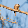 Northern Hawk Owl Eating White-Winged Crossbill nature, wildlife, photograph, photography, image, behavior, bird, birding, Maine , bird eating other bird species