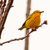 Yellow Warbler with spiders nature, wildlife, photograph, photography, image, behavior, bird, birding, Maine