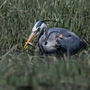 Great Blue Heron catching a fish, Hermit Island, Phippsburg, Maine May 2013