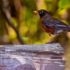 American robin with food, left facing nature, wildlife, photograph, photography, image, behavior, bird, birding, Maine