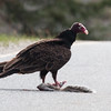 Turkey Vulture eating Gray squirrell road kill, Phippsburg, Maine