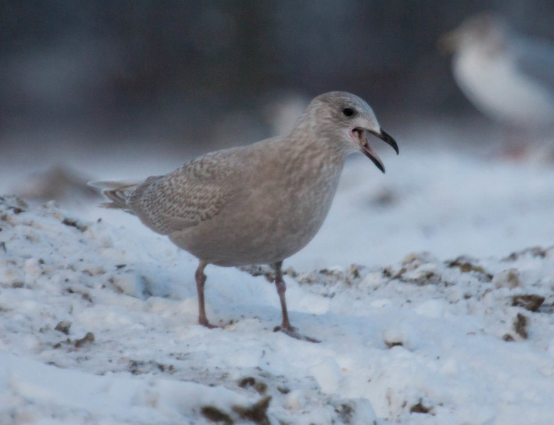 """Iceland Gull, Larus glaucoides at the Bath City landfill, Bath, Maine Decmeber. For a helpful link to gull identification, see this <a href=""""http://www.tertial.us/gulls/gulls.htm"""">http://www.tertial.us/gulls/gulls.htm</a>"""