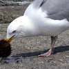 Herring Gull With Sea Urchin nature, wildlife, photograph, photography, image, behavior, bird, birding, Maine