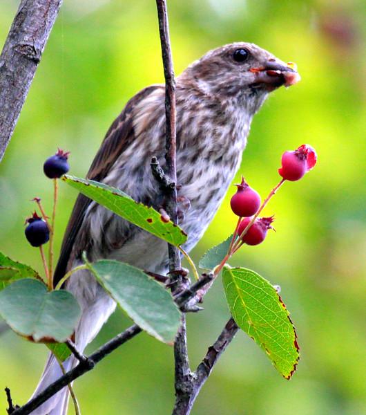 House Finch Eating Service Berries - Female nature, wildlife, photograph, photography, image, behavior, bird, birding, Maine