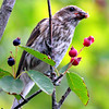 House Finch Eating Service Berries - Female nature, wildlife, photograph, photography, image, behavior, bird, birding, Maine
