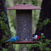 Indigo bunting male and Rose-breasted grossbeak, male on feeder, Phippsburg Maine May, colorful migratory songbirds nature, wildlife, photograph, photography, image, behavior, bird, birding, Maine