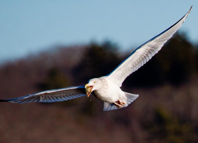 Herring Gull Flying With Snail nature, wildlife, photograph, photography, image, behavior, bird, birding, Maine