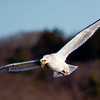 Herring Gull Flying With Snail nature, wildlife, photograph, photography, image, behavior, bird, birding, Maine