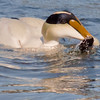 Common Atlantic Eider With Crab nature, wildlife, photograph, photography, image, behavior, bird, birding, Maine