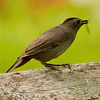 Gray catbird with caterpillar, Phippsburg Maine songbird nature, wildlife, photograph, photography, image, behavior, bird, birding, Maine