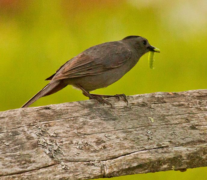 Catbird and caterpillar Maine nature, wildlife, photograph, photography, image, behavior, bird, birding, Maine
